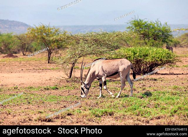 East African oryx, Oryx beisa or Beisa, in the Awash National Park in Ethiopia