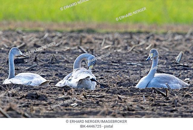 Whooper swans (Cygnus cygnus) sitting in harvested field, Emsland, Lower Saxony, Germany