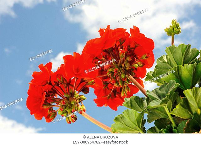 Red garden geranium - Pelargonium over blue sky