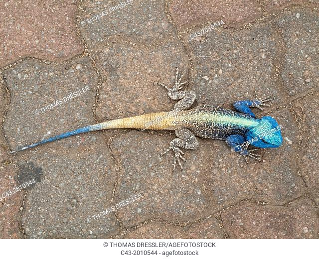 Tree Agama (Agama atricollis) - Breeding male. On the parking ground of the Lower Sabie Camp. Kruger National Park, South Africa