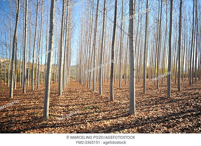 Birch forest without leaves in the autumn , Granada Andalusia