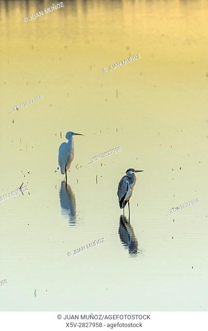 Egrets in the marsh at dawn. Doñana Natural Park. Seville. Andalusia. Spain