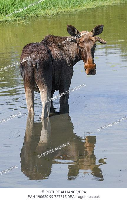 19 June 2019, Brandenburg, Kleptow: The one year old moose bull Juri stands in a pond in the game enclosure of Thomas Golz