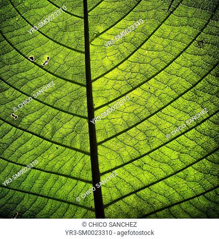 A green leaf in Belize
