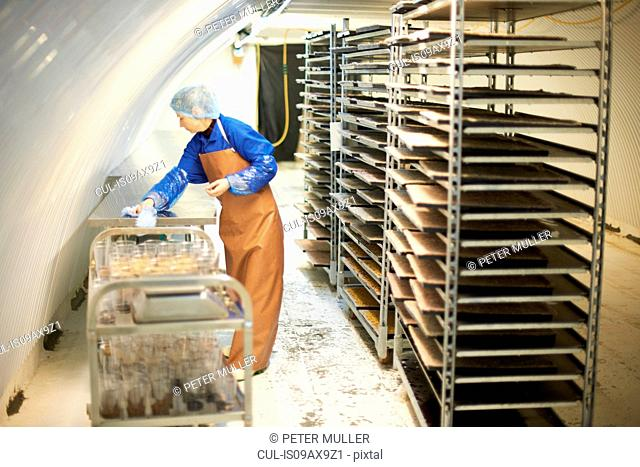 Female worker cleaning table in underground tunnel nursery, London, UK