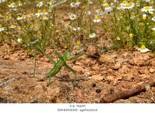 Predatory Bush-Cricket, Predatory Bush Cricket (Saga hellenica), in defencin posture, Greece, Epirus