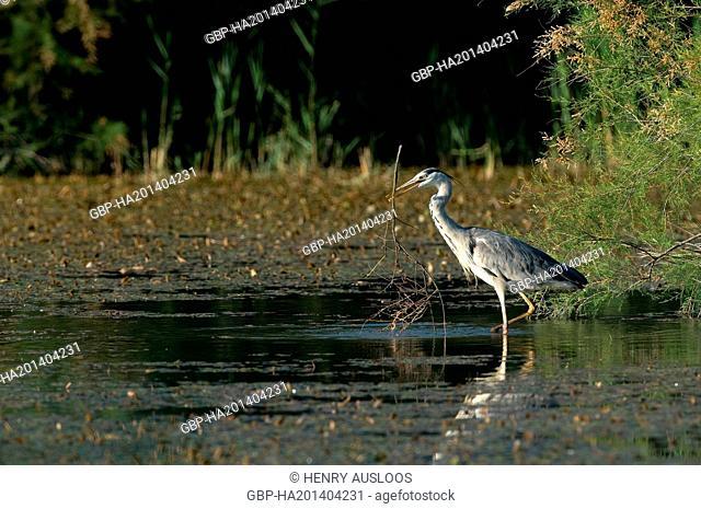 Grey Heron, Ardea cinerea, 31/05/2009