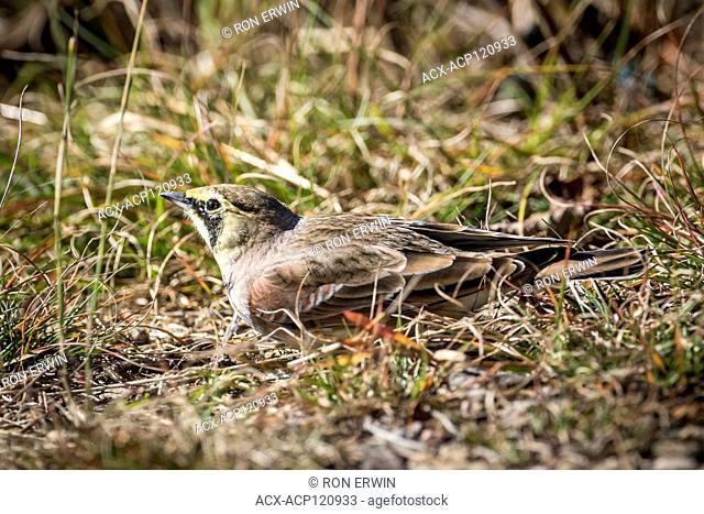 Horned Lark (Eremophila alpestris), Algonquin Provincial Park, Ontario, Canada