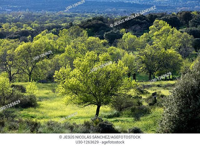 Fores of ash Fraxinus excelsior and holm oak Quercus ilex next to Sierra de Béjar, in Salamanca province, Biosphere Reserve of Sierra de Béjar and Francia