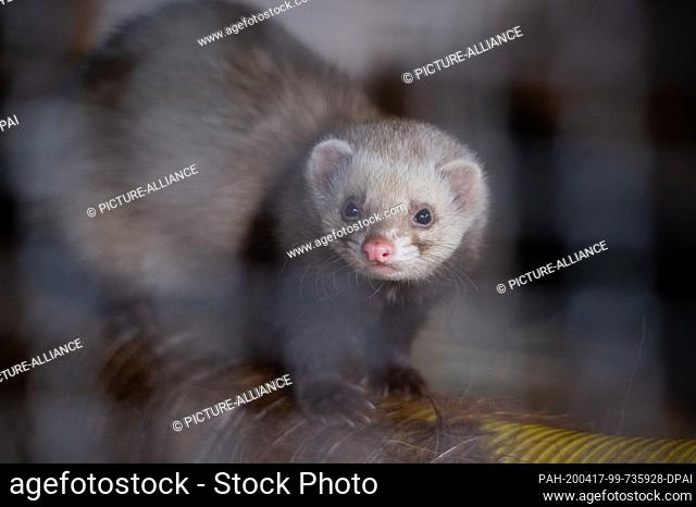 27 February 2020, Hamburg: A ferret (Mustela putorius furo) sits in his enclosure in the Klövensteen game reserve and looks into the camera