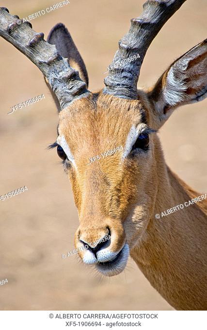 Impala, Aepyceros melampus melampus, De Wildt Cheetah Centre, South Africa, Africa