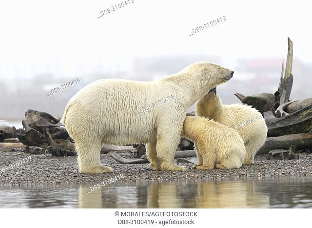 United States, Alaska, Arctic National Wildlife Refuge, Kaktovik, Polar Bear( Ursus maritimus ), mother and babies along a barrier island outside Kaktovik