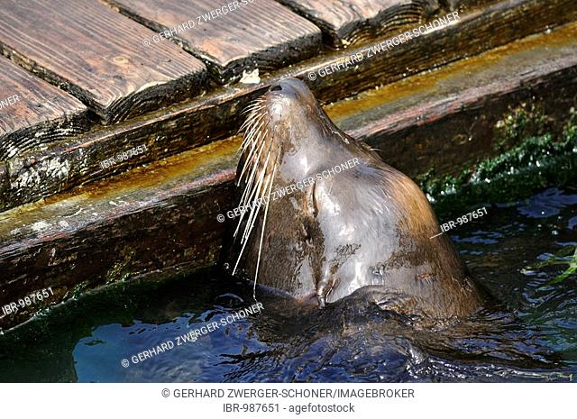 Steller or Northern Sea Lion (Eumetopias jubatus) in front of a wooden jetty, Oregon, USA