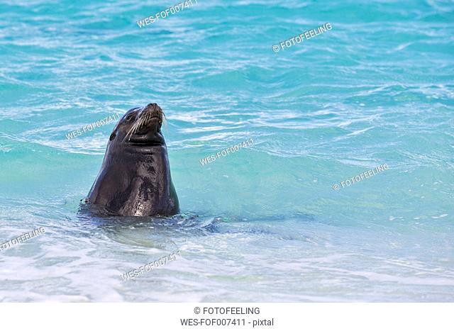 Ecuador, Galapagos Islands, Espanola, Gardner Bay, sea lion in water