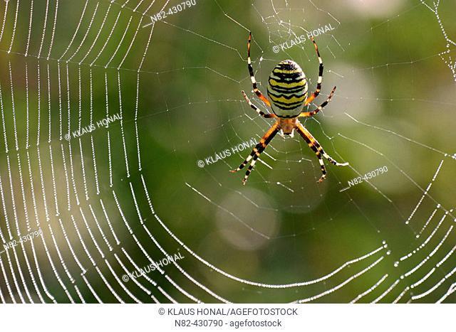 Zebra spider (Argiope bruennichi) in dew