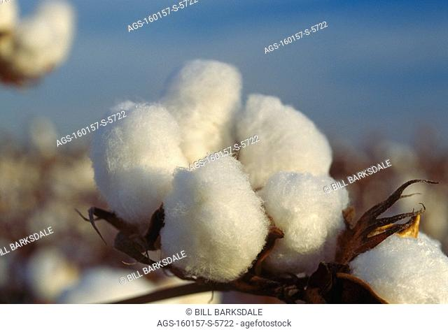 Agriculture - Closeup of a mature open 5-lock cotton boll that is ready for harvest / MS