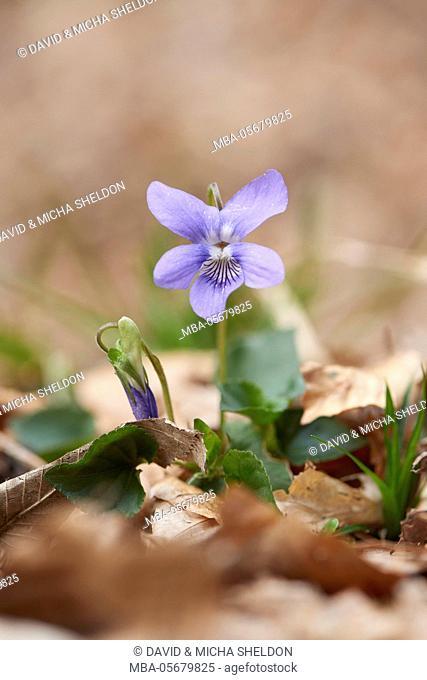 Grove violets, viola riviniana, blossom, forest floor, Close up