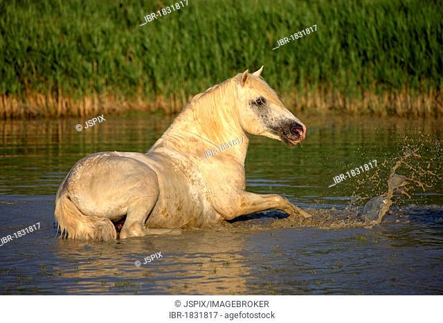 Camargue horse (Equus caballus), stallion in water, Saintes-Marie-de-la-Mer, Camargue, France, Europe