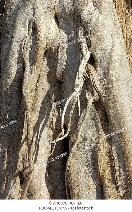 Florida Strangler Fig Everglades national park Florida USA Ficus aurea