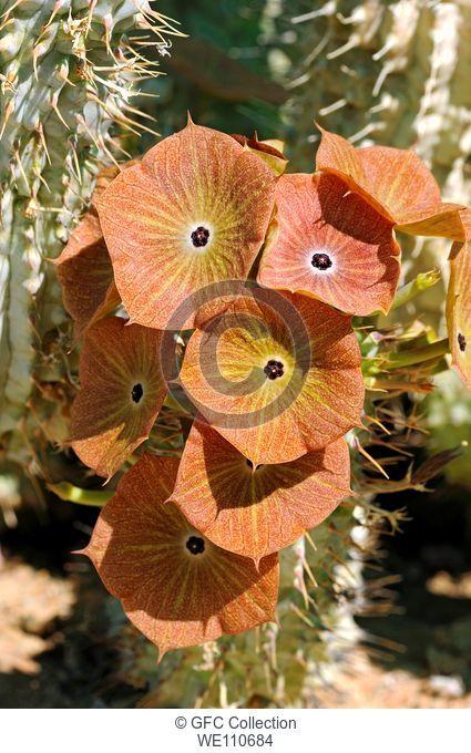 Hoodia juttae flowering, Succulent nursery, Vanrhynsdorp, Western Cape, Namaqualand, South Africa
