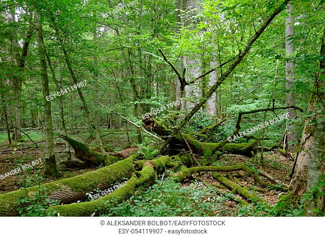 Broken old ash tree and old english oak trees in background in summertime deciduous tree stand, Bialowieza Forest, Poland, Europe