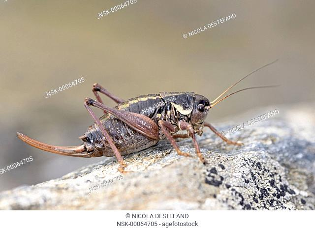 Western Alpine Bush-cricket (Anonconotus occidentalis) female perched on a stone, Italy, Piedmont, Orsiera Rocciavre Natural Park