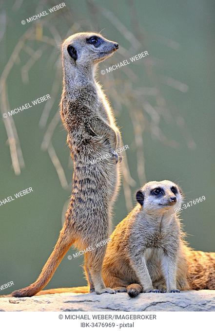 Meerkats (Suricata suricatta), pup and an adult, captive, native to Africa, Stuttgart, Baden-Württemberg, Germany