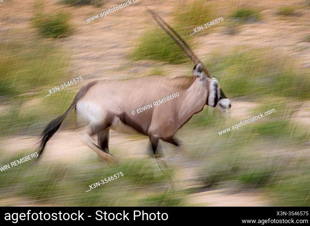 Oryx (Gemsbok) Kgalagadi , South Africa