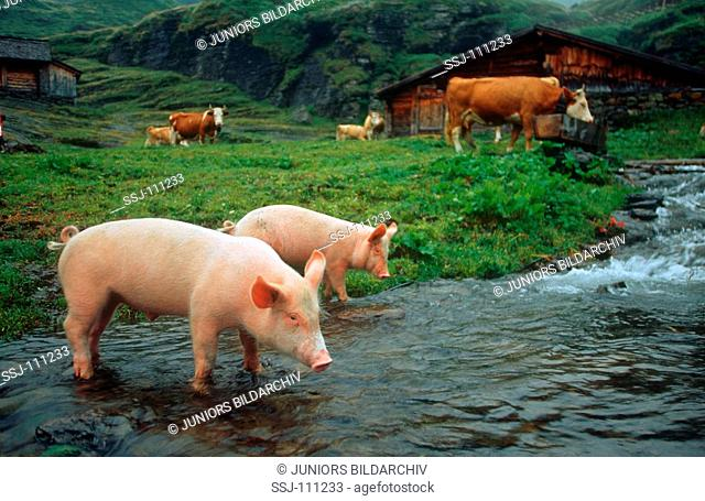 pigs and cows at ditch