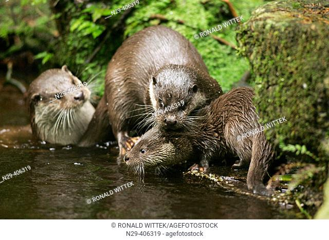 Otter (Lutra lutra), cub learning swimming. Captive, Germany