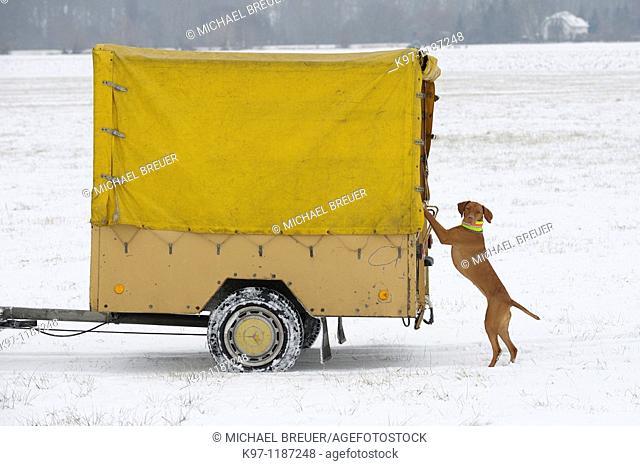 Hound (Magyar Viszla) in winter, Germany