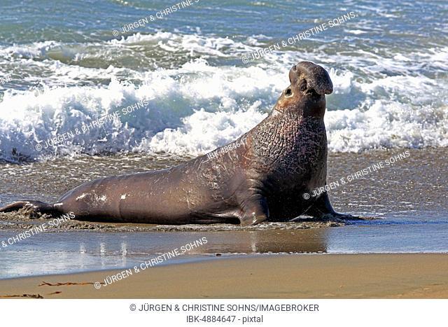 Northern Elephant Seal (Mirounga angustirostris), adult male in wave seam on the beach, Piedras Blancas Rookery, San Simeon, San Luis Obispo County, California