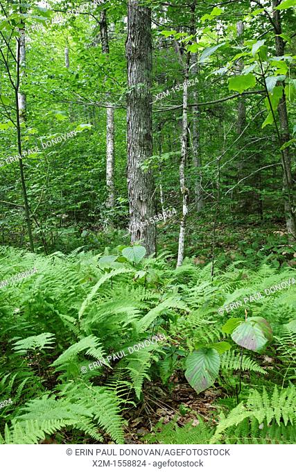 Hardwood forest along the Sabbaday Brook Trail in the White Mountains, New Hampshire USA