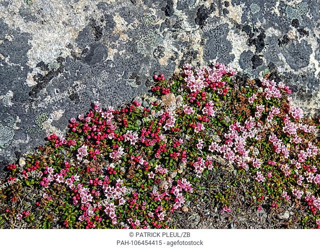 24.06.2018, Gronland, Denmark: Small plants such as lichen and mosses grow on a stone in the coastal town of Ilulissat in western Greenland