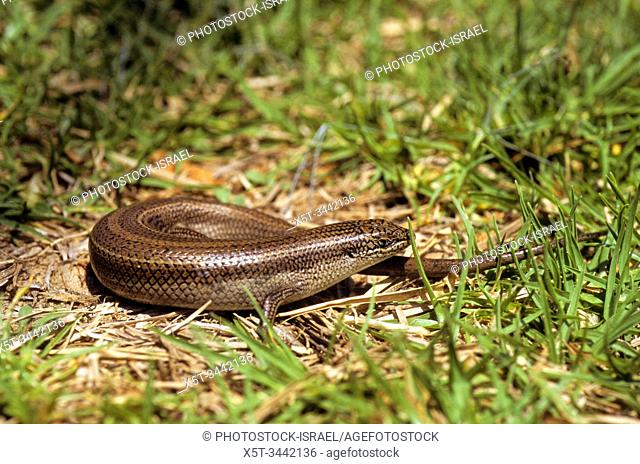 Bridled Mabuya or Bridled Skink (Trachylepis vittata) is a species of skinks found in North Africa and Middle East. The length of those skinks is up to 22 cm