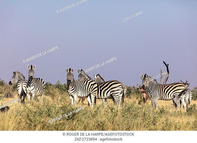 Plains zebra, common zebra or Burchell's zebra (Equus quagga, formerly Equus burchellii). Okavango Delta. Botswana