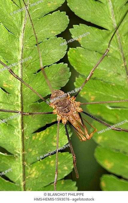 France, Opiliones, Phalangiidae, Harvestmen (Phalangium opilio), male