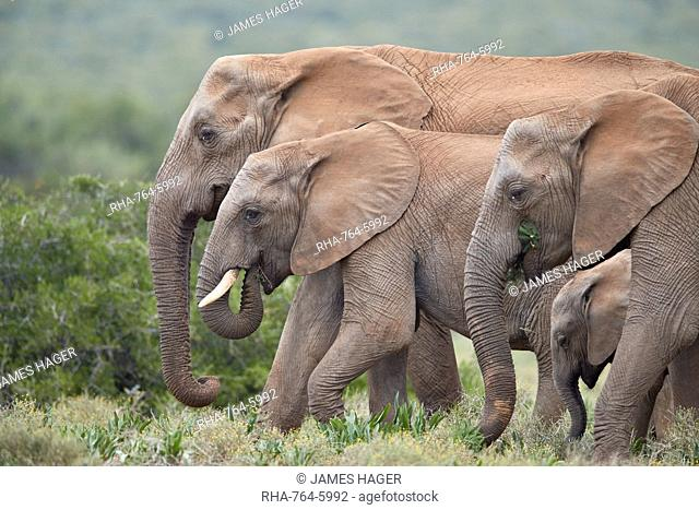 African Elephant (Loxodonta africana) group, Addo Elephant National Park, South Africa, Africa