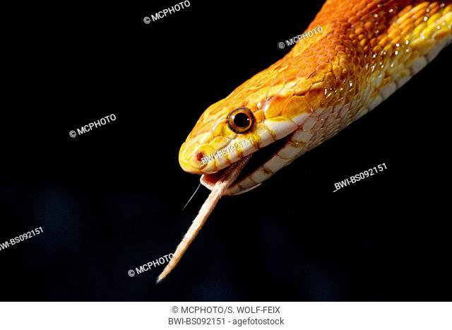 corn snake (Elaphe guttata), corn snake gulping down a mouse
