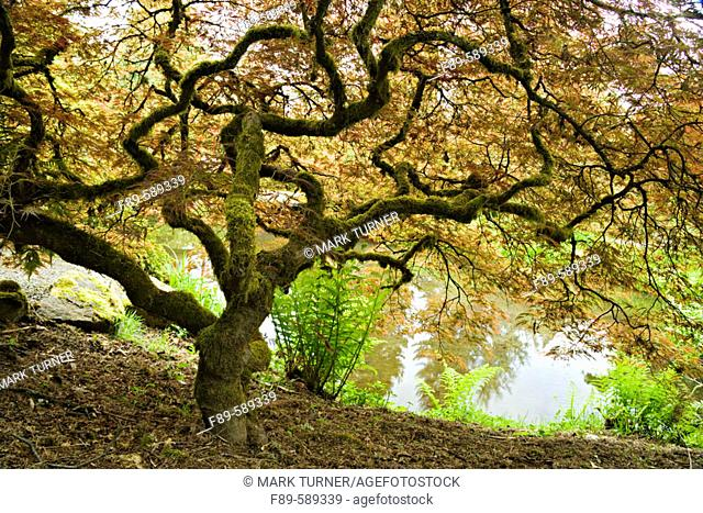 Japanese Maple with contorted trunk, from below with pond background (Acer palmatum 'Dissectum'). Kubota, Seattle, Washington. USA