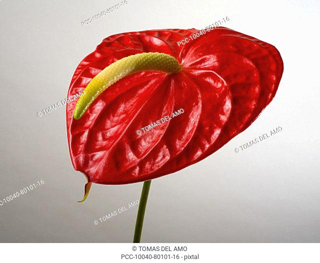 Studio shot of red anthurium on white background