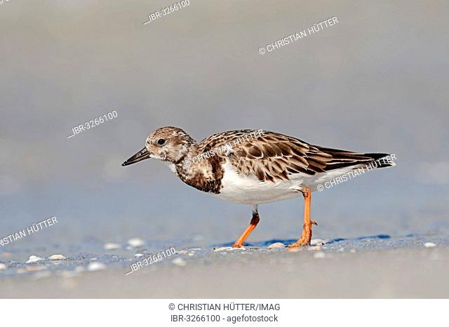 Ruddy Turnstone (Arenaria interpres) in non-breeding plumage