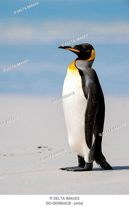 Portrait of King penguin (Aptenodytes patagonica), on beach, Volunteer point, Port Stanley, Falkland Islands, South America