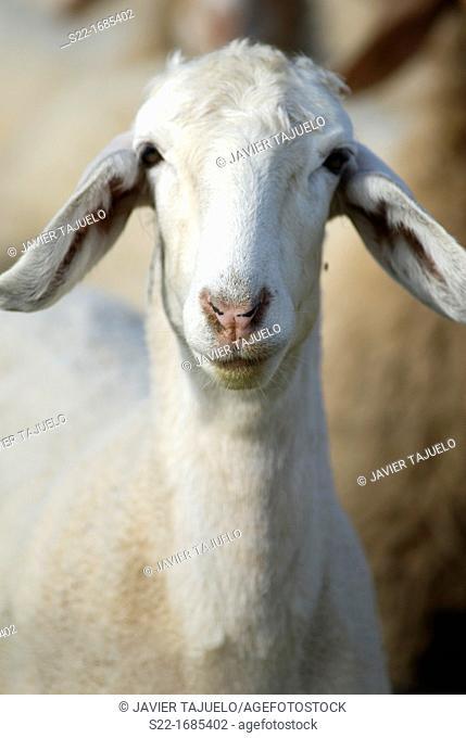 Sheep, Ovis orientalis aries