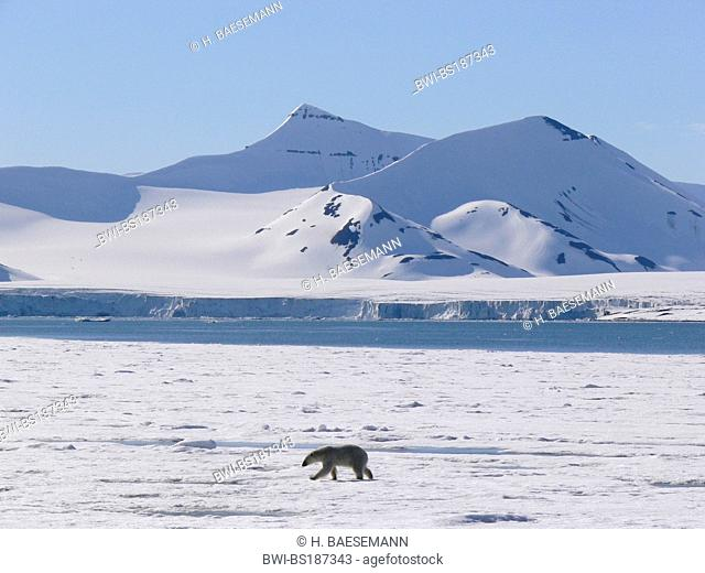 polar bear (Ursus maritimus), in Hornsund, Norway, Svalbard