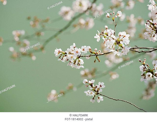 Close up delicate pink cherry blossoms on branch
