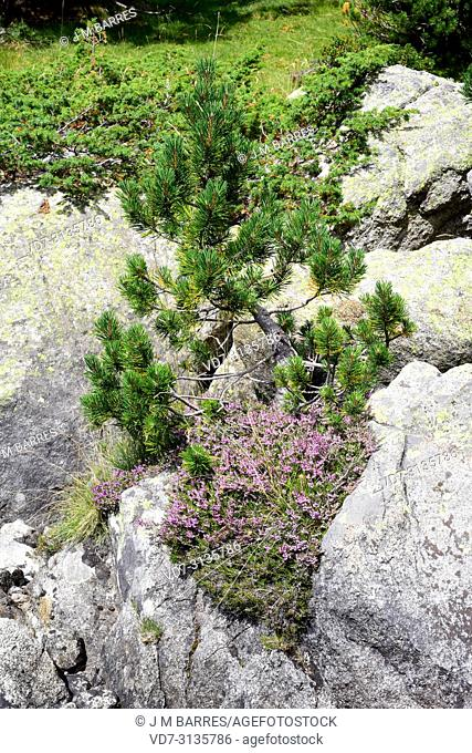Pino negro (Pinus uncinata or Pinus mugo uncinata) is a coniferous tree native to Pyrenees, Sierra de Gudar, Sierra Cebollera and Alps