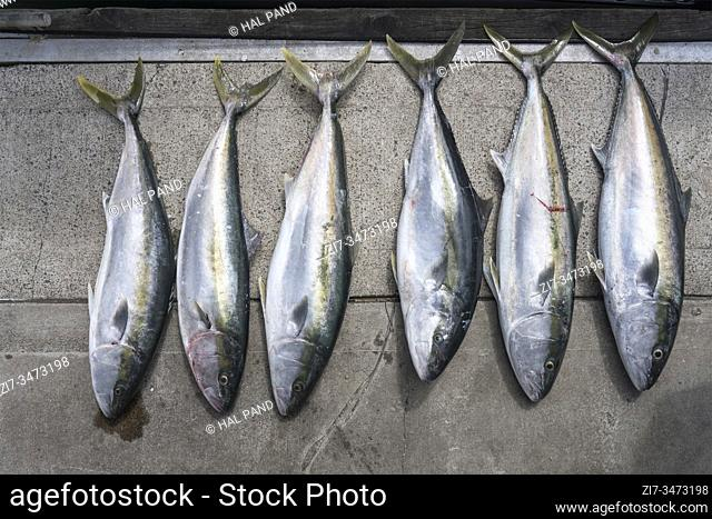display on wharf of the catch after fishing trip, shot in bright late spring light at Whitianga, Coromandel, North Island, New Zealand