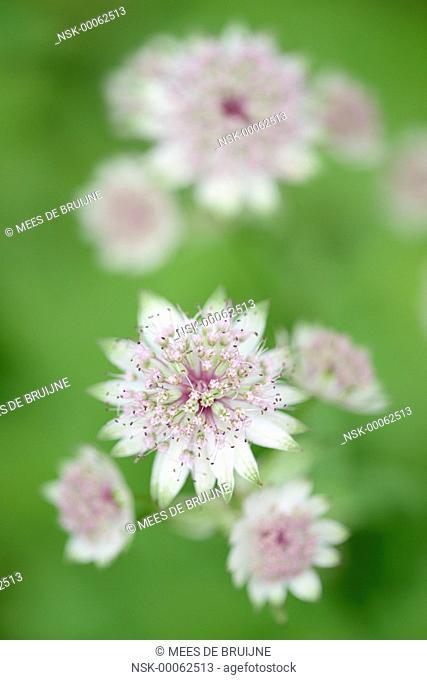 Great Masterwort (Astrantia major) flowering, France, Rhone-Alpes, Parc national des Écrins