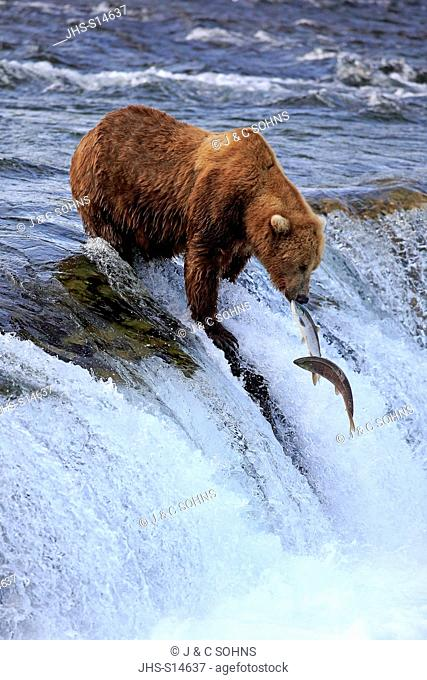 Grizzly Bear, (Ursus arctos horribilis), adult in water hunting salmon, Brookes River, Katmai Nationalpark, Alaska, USA, North America
